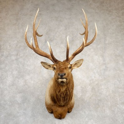 Rocky Mountain Elk Shoulder Mount For Sale #20693 @ The Taxidermy Store