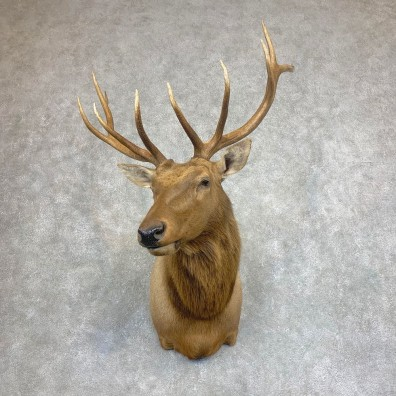 Rocky Mountain Elk Shoulder Mount For Sale #21929 @ The Taxidermy Store