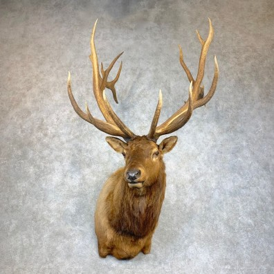 Rocky Mountain Elk Shoulder Mount For Sale #22127 @ The Taxidermy Store