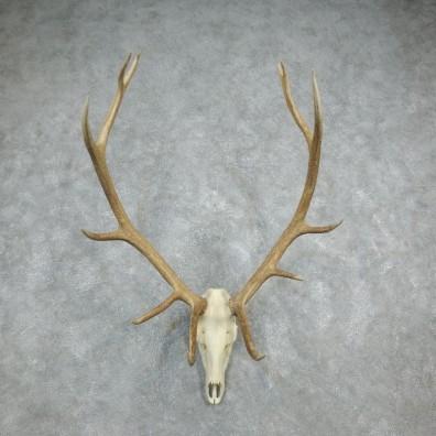 Rocky Mountain Elk Skull European Mount For Sale #18328 @ The Taxidermy Store