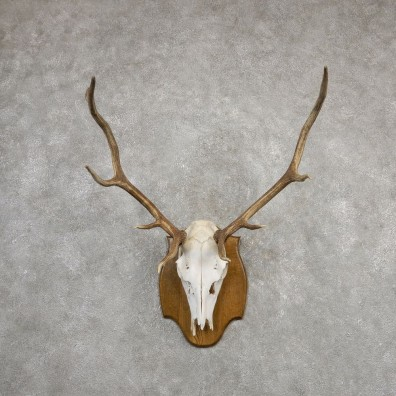 Rocky Mountain Elk Skull European Mount For Sale #20324 @ The Taxidermy Store