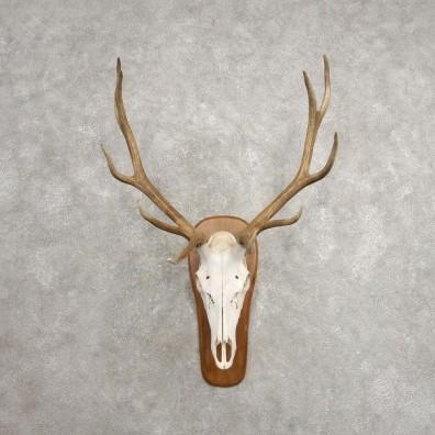 Rocky Mountain Elk Skull European Mount For Sale #20477 @ The Taxidermy Store