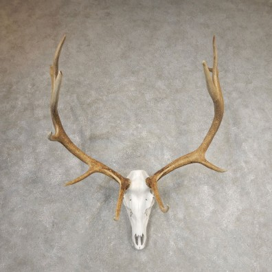 Rocky Mountain Elk Skull European Mount For Sale #21066 @ The Taxidermy Store