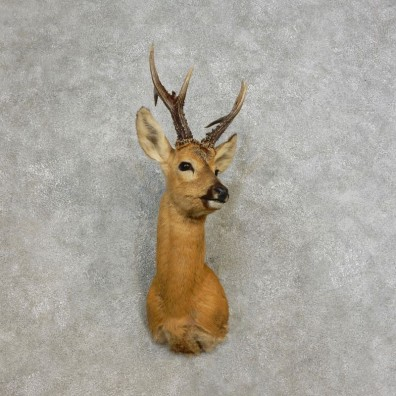 Siberian Roe Deer Shoulder Mount For Sale #17284 @ The Taxidermy Store