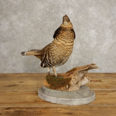 Ruffed Grouse Bird Mount For Sale #20502 @ The Taxidermy Store