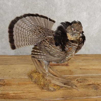 Ruffed Grouse Bird Mount For Sale #21005 @ The Taxidermy Store