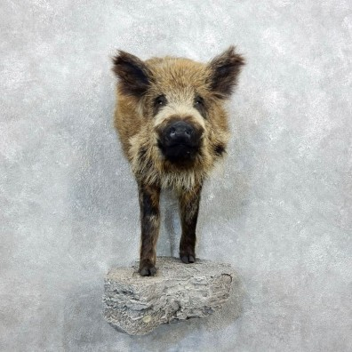 Russian Boar Shoulder Mount For Sale #18351 @ The Taxidermy Store