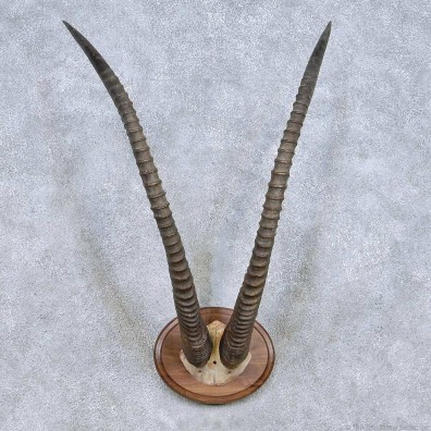 Sable Horn Plaque Taxidermy Mount For Sale #13993 @ The Taxidermy Store