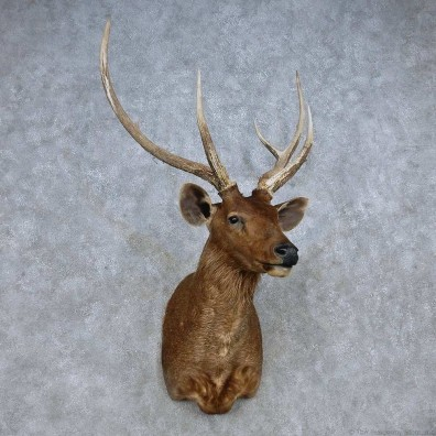 Sambar Deer Shoulder Mount For Sale #14854 @ The Taxidermy Store