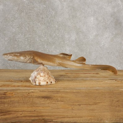 Sand Shark Taxidermy Fish Mount #21035 @ The Taxidermy Store