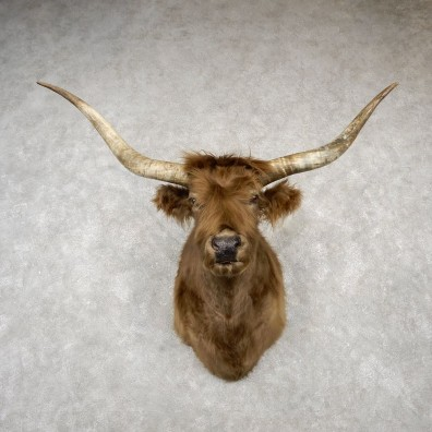 Scottish Highland Steer Shoulder Mount For Sale #18784 @ The Taxidermy Store