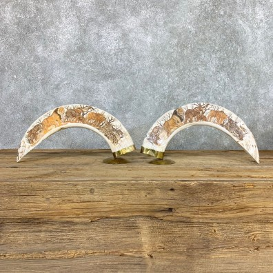 Scrimshawed Hippopotamus Tooth Pair For Sale #22387 @ The Taxidermy Store