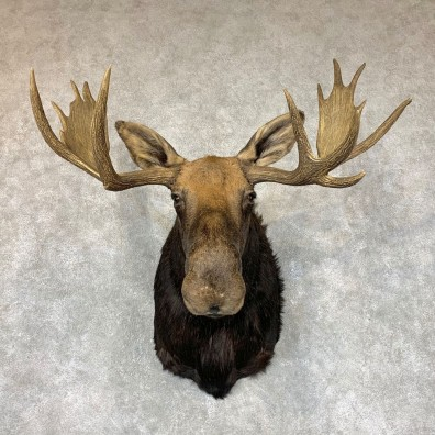 Shiras Moose Shoulder Taxidermy Mount #22337 For Sale @ The Taxidermy Store