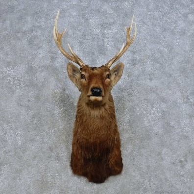 Sika Deer Shoulder Mount For Sale #14668 @ The Taxidermy Store