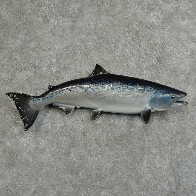 Silver Salmon Fish Mount For Sale #16054 @ The Taxidermy Store