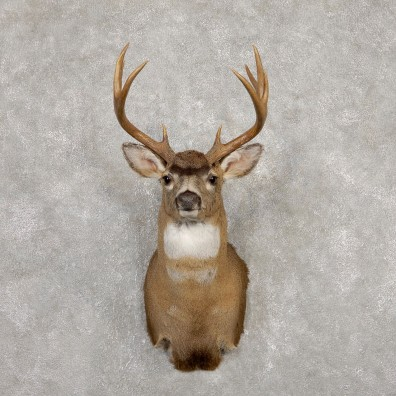 Sitka Blacktail Deer Shoulder Mount For Sale #19922 For Sale @ The Taxidermy Store