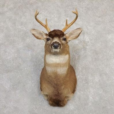 Sitka Blacktail Deer Shoulder Mount For Sale #20268 For Sale @ The Taxidermy Store
