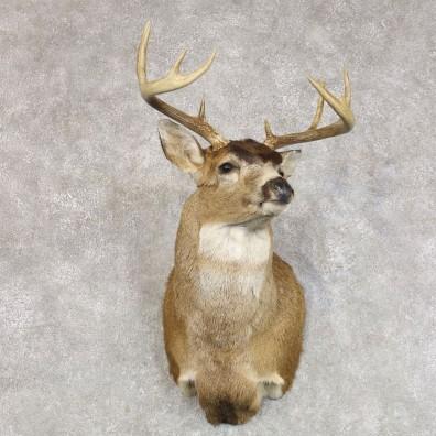 Sitka Blacktail Deer Shoulder Mount For Sale #22275 For Sale @ The Taxidermy Store