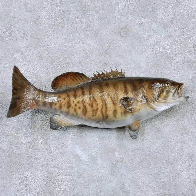 Smallmouth Bass Freshwater Fish Mount #13872 For Sale @ The Taxidermy Store