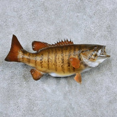 Smallmouth Bass Taxidermy Fish Mount #13871 For Sale @ The Taxidermy Store