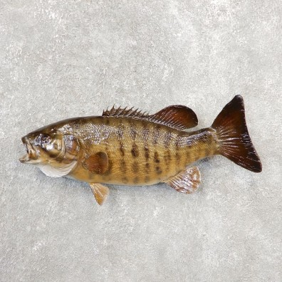 Smallmouth Bass Taxidermy Fish Mount #21096 For Sale @ The Taxidermy Store