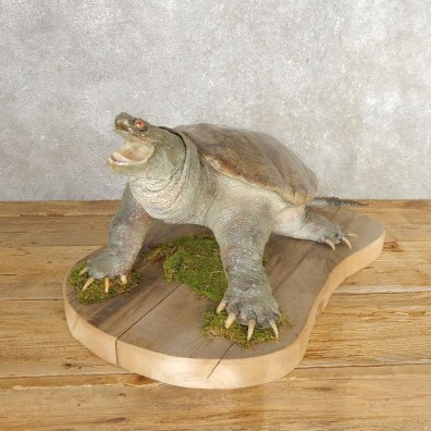 Snapping Turtle Taxidermy Mount For Sale - #21001