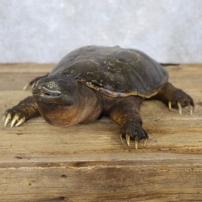 Snapping Turtle Taxidermy Mount For Sale - #22228