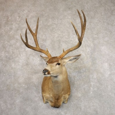 Sonora Desert Mule Deer Shoulder Mount For Sale #22173 @ The Taxidermy Store