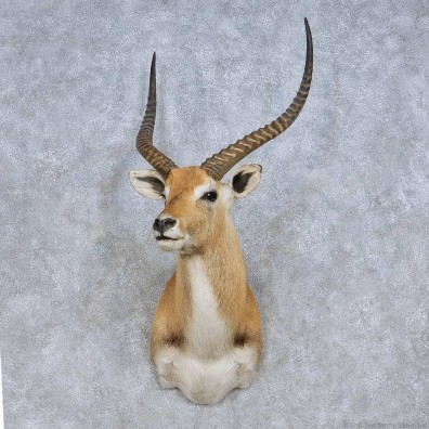 Lechwe Taxidermy Shoulder Mount For Sale #13985 @ The Taxidermy Store
