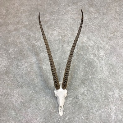 Southern Grants Gazelle Skull European Mount For Sale #21962 @ The Taxidermy Store