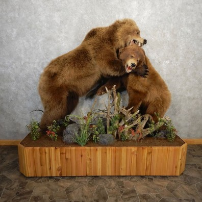 Sparring Juvenile Black Bear And Grizzly Bear Life-Size Mount For Sale #21143 @ The Taxidermy Store