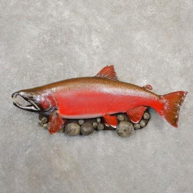 Spawning Phase Coho Salmon Fish Mount For Sale #20575 @ The Taxidermy StoreSpawning Phase Coho Salmon Fish Mount For Sale #20575 @ The Taxidermy Store