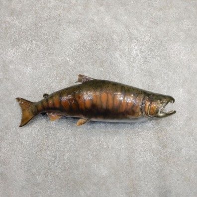 Spawning Phase King Salmon Fish Mount For Sale #20899 @ The Taxidermy Store