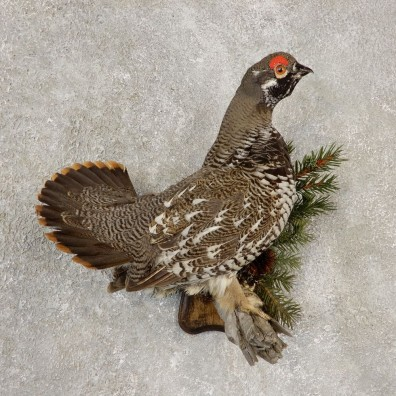 Spruce Grouse Mount For Sale #20603 @ The Taxidermy Store