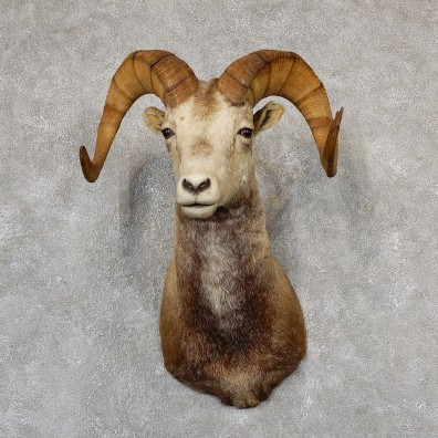 Stone Sheep Shoulder Mount For Sale #19307 @ The Taxidermy Store