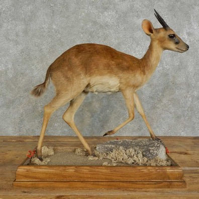 Suni Antelope Life-Size Mount For Sale #16944 @ The Taxidermy Store