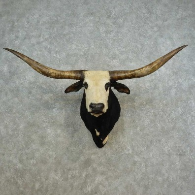 Texas Longhorn Shoulder Mount For Sale #16643 @ The Taxidermy Store