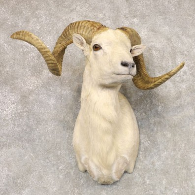 Texas Dall Sheep Taxidermy Shoulder Mount For Sale #22520 @ The Taxidermy Store