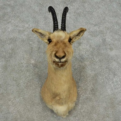 Tibetan Gazelle Shoulder Mount For Sale #16875 @ The Taxidermy Store