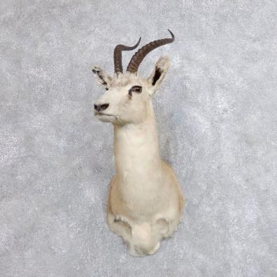 Tibetan Goa Gazelle Shoulder #18736 - The Taxidermy Store
