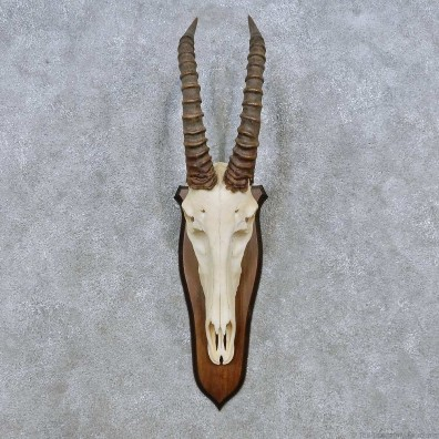 Topi Skull & Horn European Mount For Sale #14509 @ The Taxidermy Store