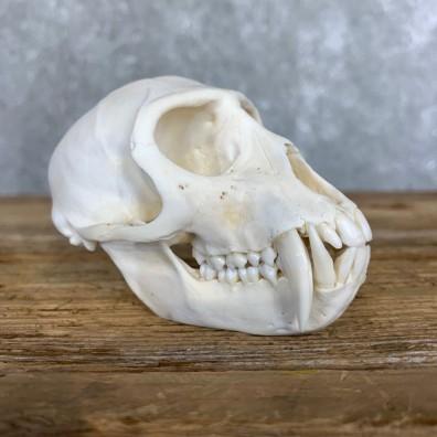 Vervet Monkey Full Skull Mount For Sale #21795 @ The Taxidermy Store