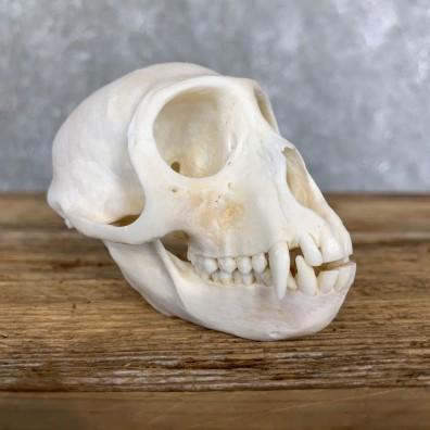 Vervet Monkey Full Skull Mount For Sale #21796 @ The Taxidermy Store