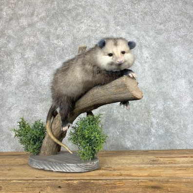 Wall Hanging Opossum Mount For Sale #22199 @ The Taxidermy Store