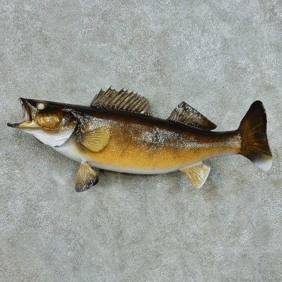 Walleye Freshwater Fish Life-Size Mount #13553 For Sale @ The Taxidermy Store