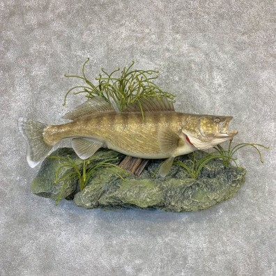 Walleye Taxidermy Mount For Sale #21621 @ The Taxidermy Store