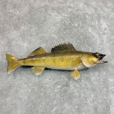 Walleye Taxidermy Mount For Sale #22045 @ The Taxidermy Store