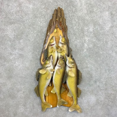 Walleye Taxidermy Mount For Sale #22083 @ The Taxidermy Store
