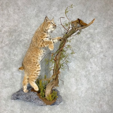Western Bobcat Life-Size Mount For Sale #21717 @ The Taxidermy Store