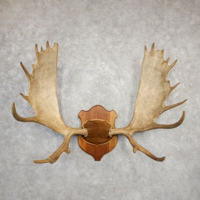 Western Canada Moose Antler Plaque For Sale #20333 @ The Taxidermy Store